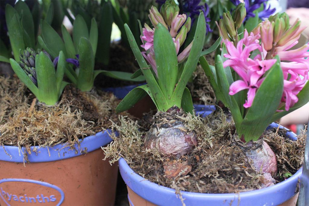 Hyacinths Columbia Road Flower Market